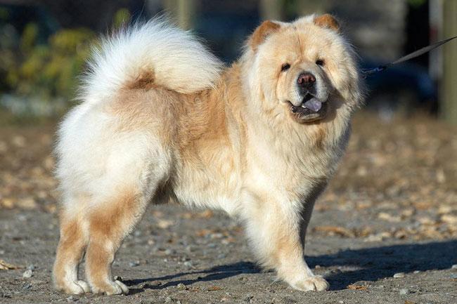 Самые дорогие породы собак в россии