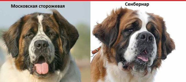 московская сторожевая и сенбернар отличия