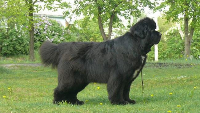 большие собаки как медведи