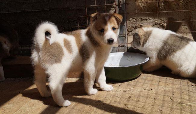 Восточносибирская лайка описание породы собак, характеристики ...   379x650