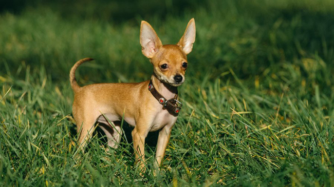 ушастые собаки породы фото