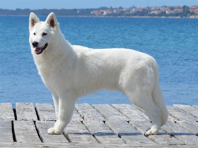 большие собаки белого цвета
