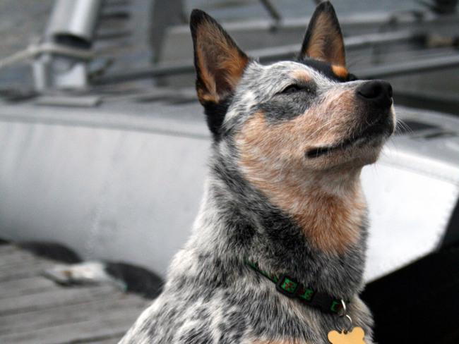 австралийская пастушья собака стандарт