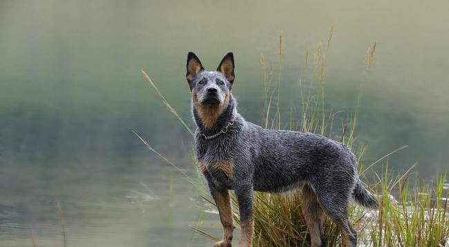 австралийская пастушья собака дрессировка