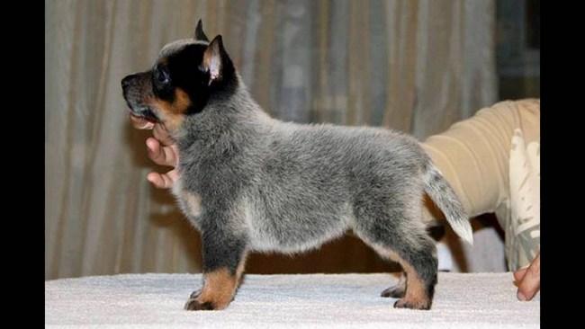 австралийская пастушья собака щенок