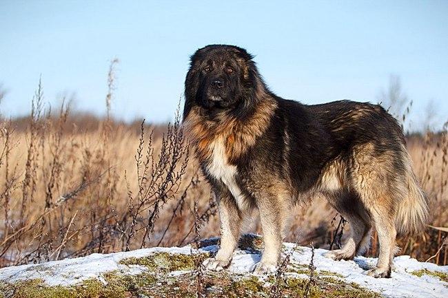 волкодав кавказская овчарка