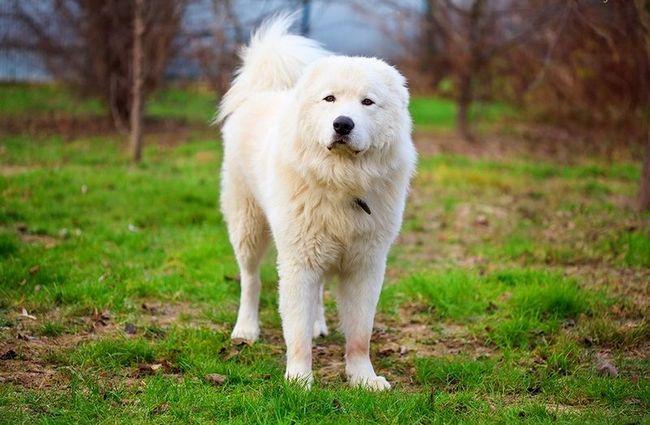 Мареммо-абруцкая овчарка волкодав