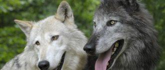 собаки похожие на волков