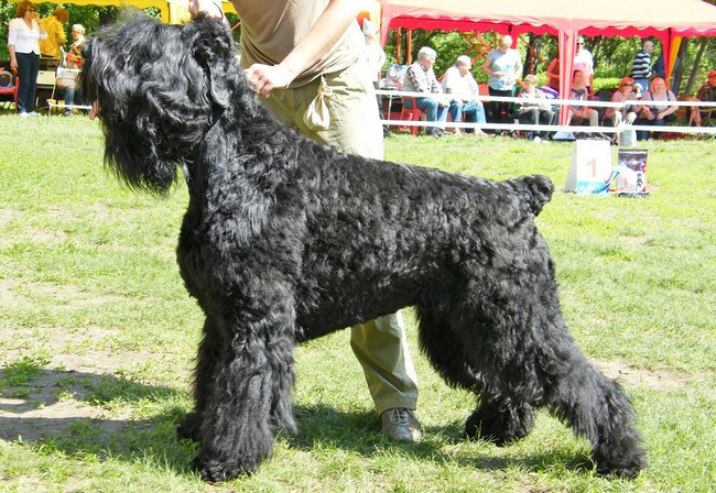 служебная собака русский черный терьер