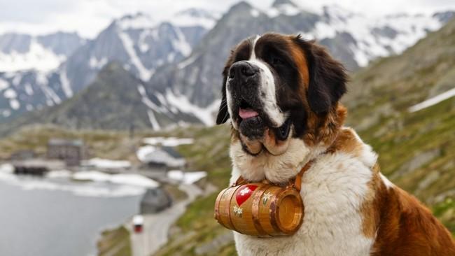 служебная собака сенбернар