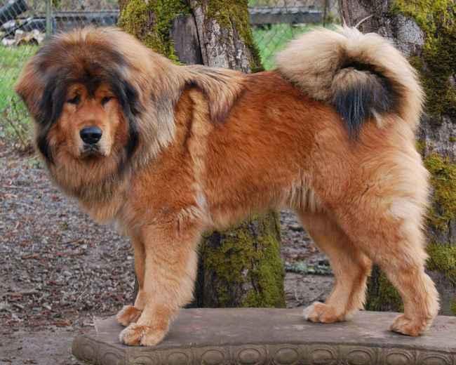 служебная собака тибетский мастиф