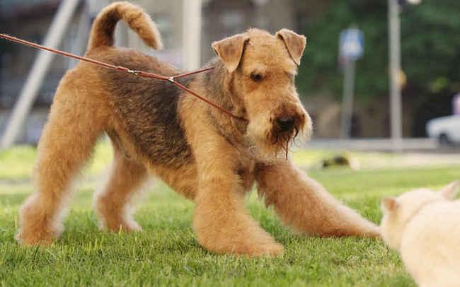 служебная собака Эрдельтерьер