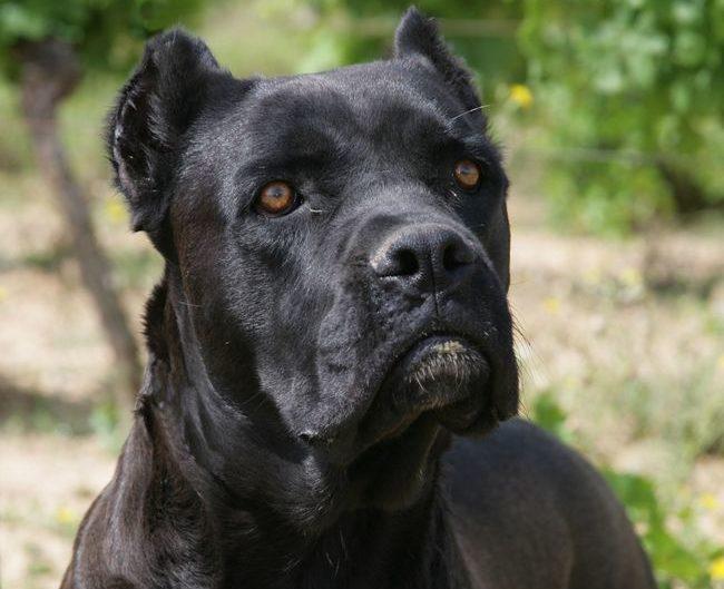 служебная собака кане-корсо