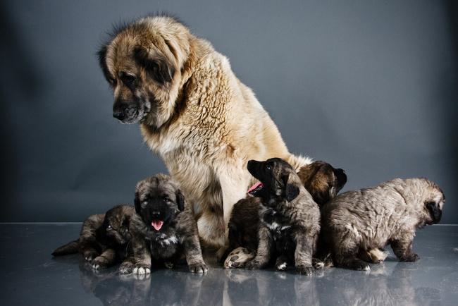 служебная собака кавказская овчарка