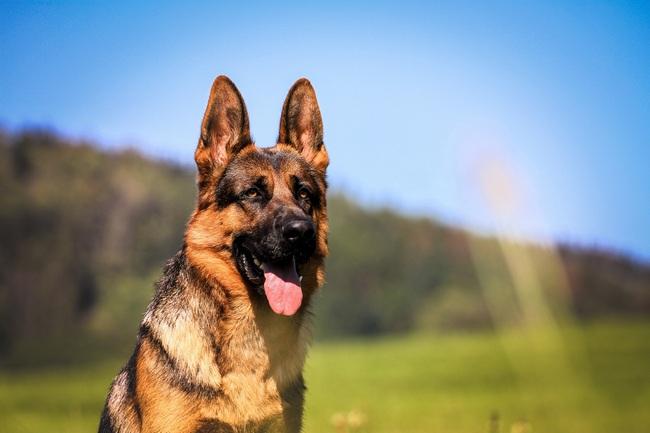 служебная собака немецкая овчарка