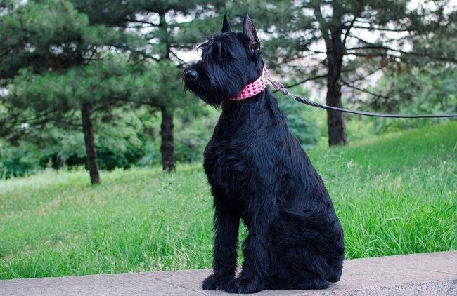 собака поводырь ризеншнауцер
