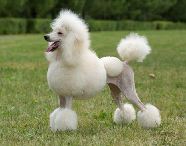 собака поводырь королевский пудель