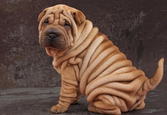 собаки со складками
